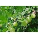 Ribes uva - Crispa