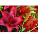 Lilium Asiatic