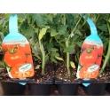 Seedling Tomato Meteor f1