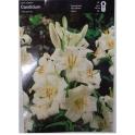 Lilium candidum- Madonna lily