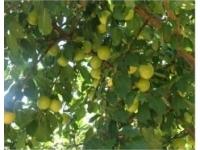 Koromilia tree