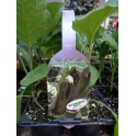 Seedling Eggplant