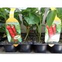Seedling Pepper Florin