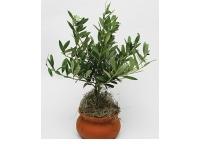 Ornamental olives