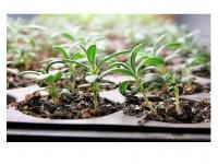 Hybrids - Seedlings